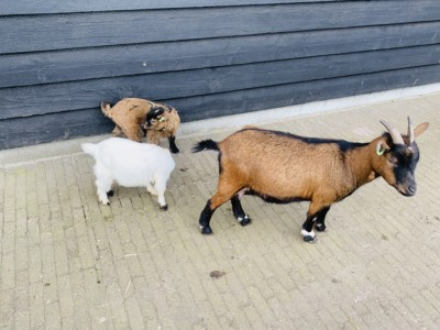 Some of the animals in the petting zoo in Keukenhof (goats)