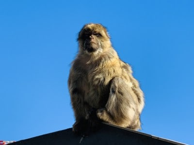 A picture of a Gibraltar monkey sitting in the sunshine