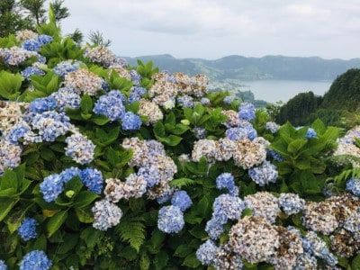 A scene of blue and pink Azores hydrangeas on the rim of the volcanic crater