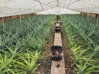 Pineapples growing in greenhouses at the Arruda Acores Pineapple Plantation