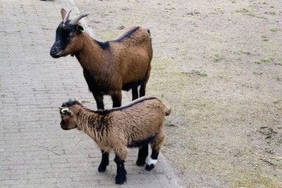 Two goats that you can see when visiting Keukenhof
