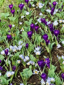 Some of the crocuses at Keukenhof - these are purple and mauve