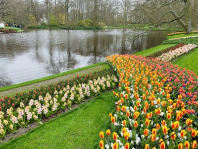 Keukenhof flowers along the river bank.  There are stripes of white a red flowers with a stripe of yellow/red and pink flowers crossing it