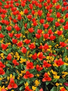 Colourful flowers in the gardens - these are red with smaller yellow flowers in between