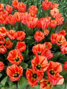 """Spryng Break tulips"" - a variety of tulips we saw when visiting KeuKenhof in 2019 - they are deep orange/red"