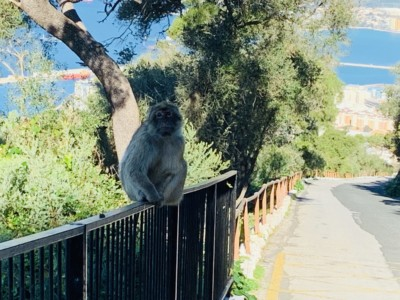 Picture of a Gibraltar monkey sitting on a fence on the side of a lane in the Rock's nature reserve