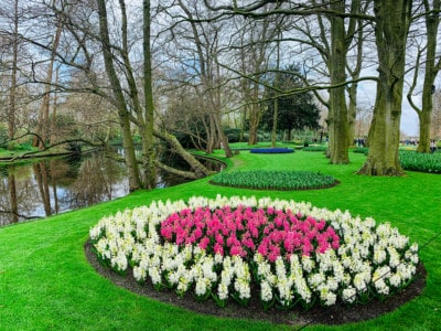 Flowers beds at Keukenhof.  This is a circle - white flowers with a pink centre.  You can see the trees and river