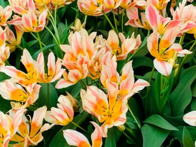 Flowers  at Keukenhof.  These are white with yellow and pink stripes